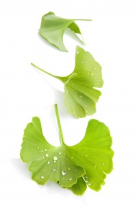 Ginkgo leaves isolated.